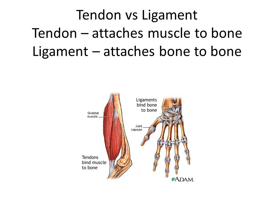 Tendon vs Ligament Tendon – attaches muscle to bone Ligament – attaches bone to bone