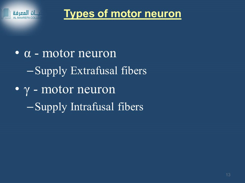 α - motor neuron γ - motor neuron Supply Extrafusal fibers