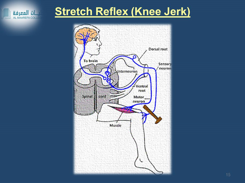 Stretch Reflex (Knee Jerk)