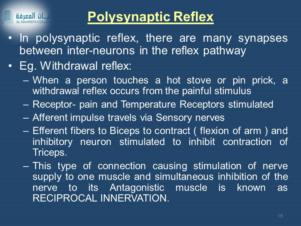 Polysynaptic Reflex In polysynaptic reflex, there are many synapses between inter-neurons in the reflex pathway.