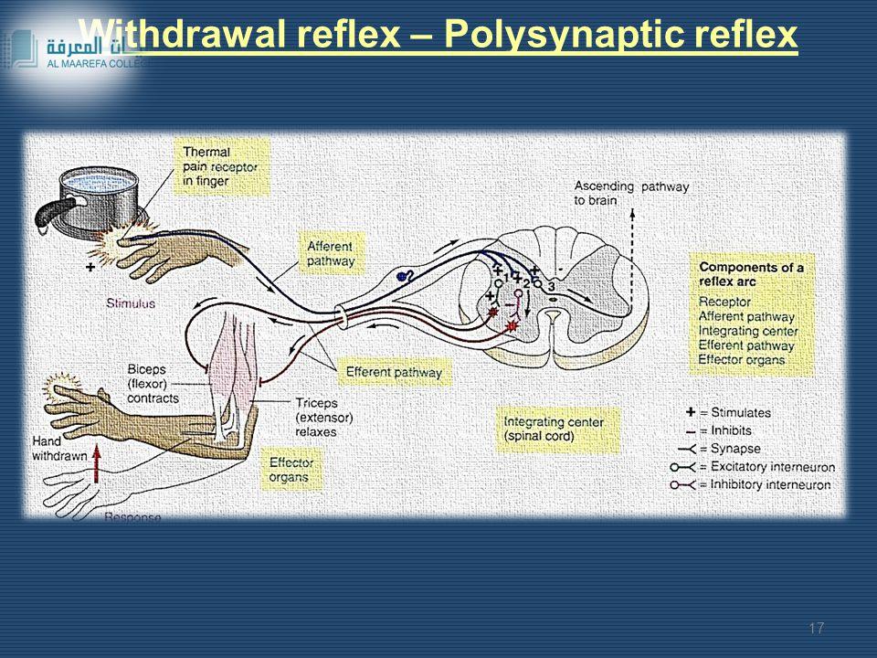 Withdrawal reflex – Polysynaptic reflex