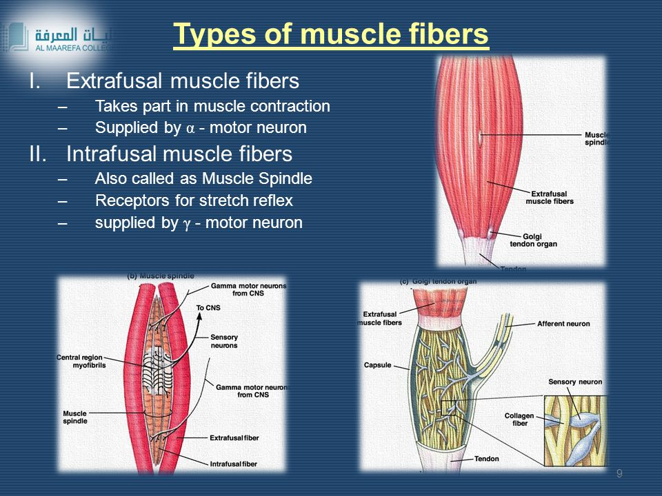 Types of muscle fibers Extrafusal muscle fibers