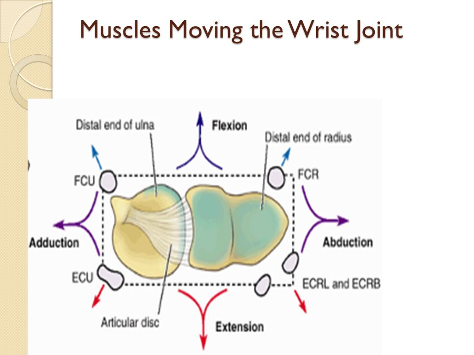 Muscles Moving the Wrist Joint