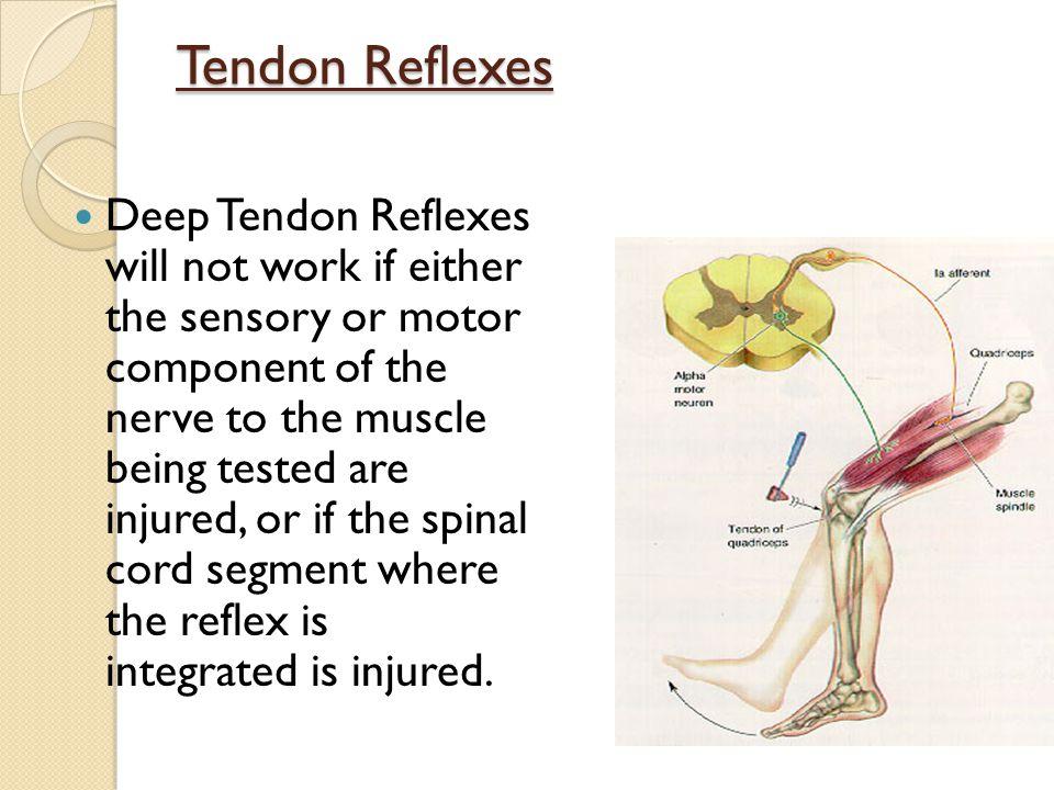 Tendon Reflexes