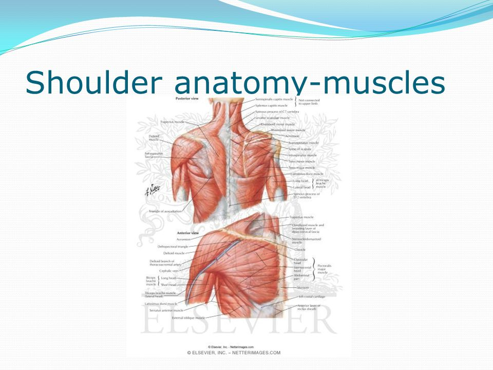 Shoulder anatomy-muscles