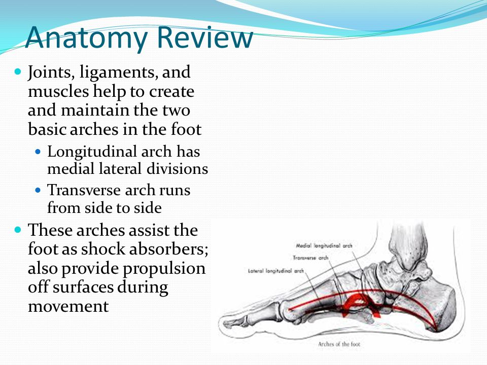 Anatomy Review Joints, ligaments, and muscles help to create and maintain the two basic arches in the foot.