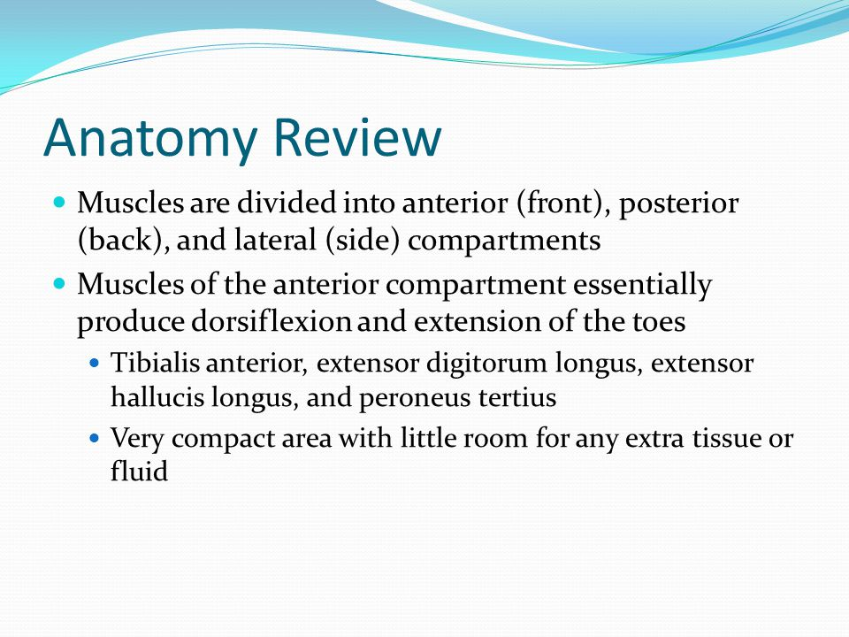 Anatomy Review Muscles are divided into anterior (front), posterior (back), and lateral (side) compartments.