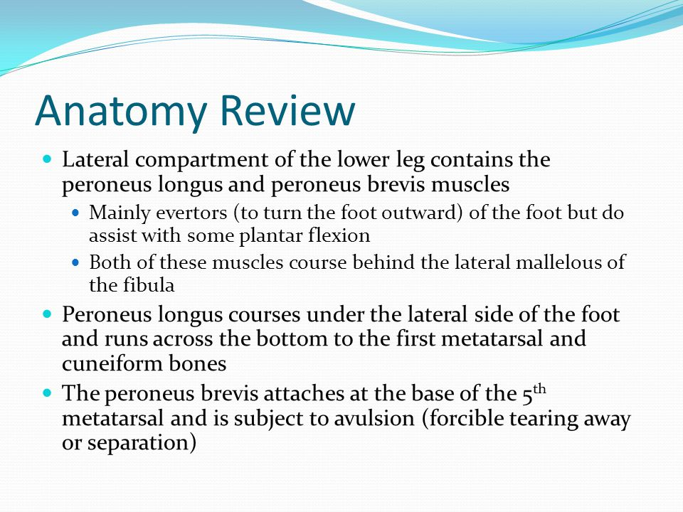 Anatomy Review Lateral compartment of the lower leg contains the peroneus longus and peroneus brevis muscles.