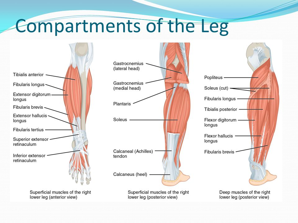 Compartments of the Leg