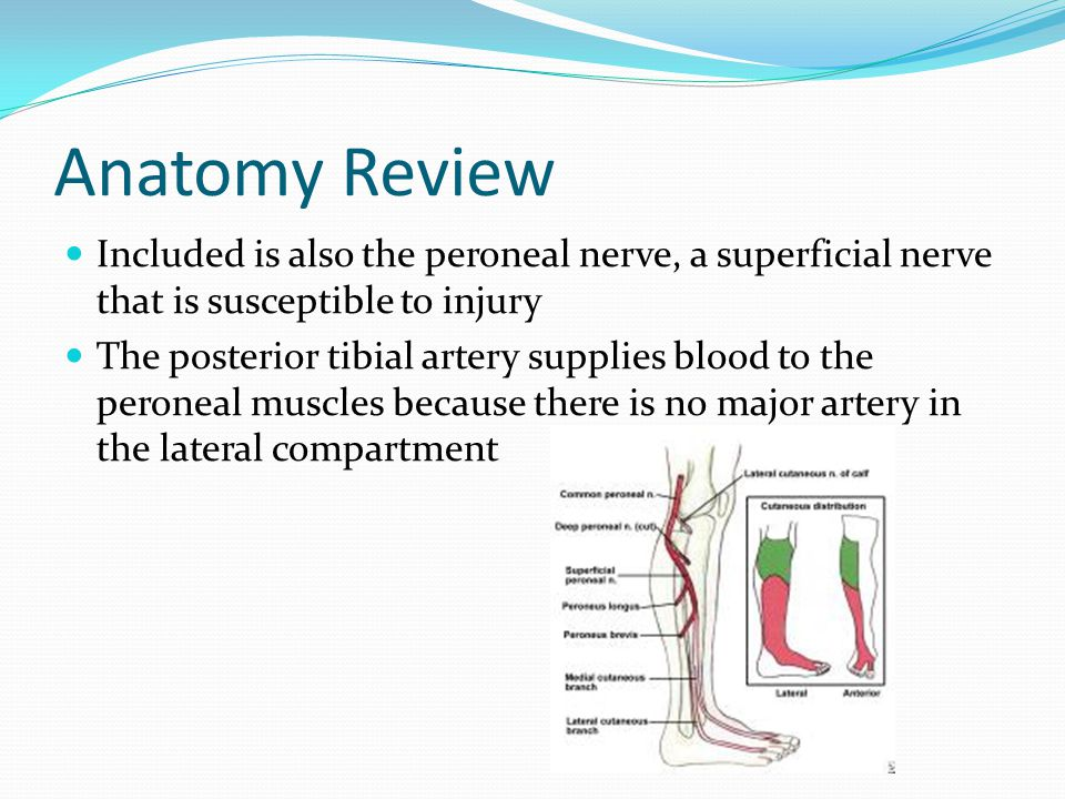 Anatomy Review Included is also the peroneal nerve, a superficial nerve that is susceptible to injury.
