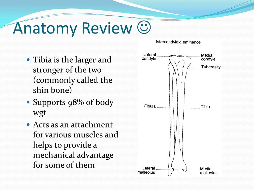 Anatomy Review  Tibia is the larger and stronger of the two (commonly called the shin bone) Supports 98% of body wgt.