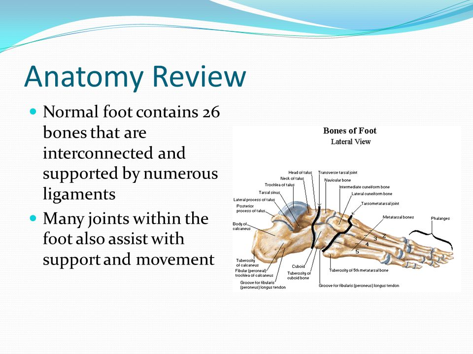 Anatomy Review Normal foot contains 26 bones that are interconnected and supported by numerous ligaments.