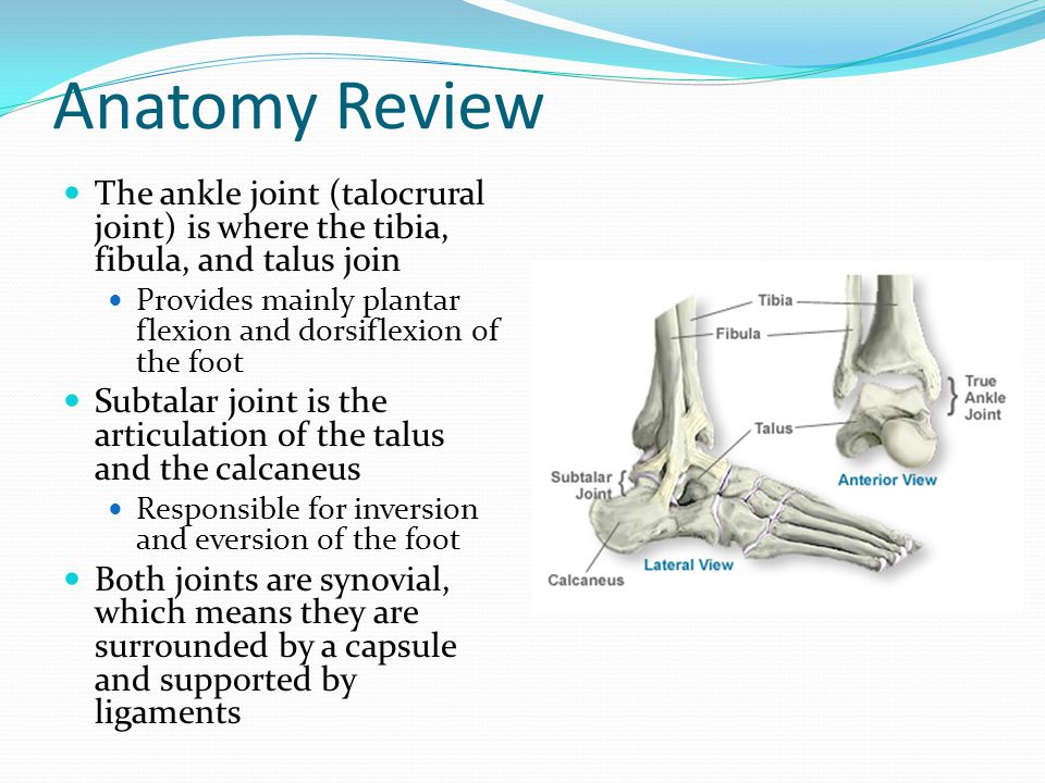 Anatomy Review The ankle joint (talocrural joint) is where the tibia, fibula, and talus join.