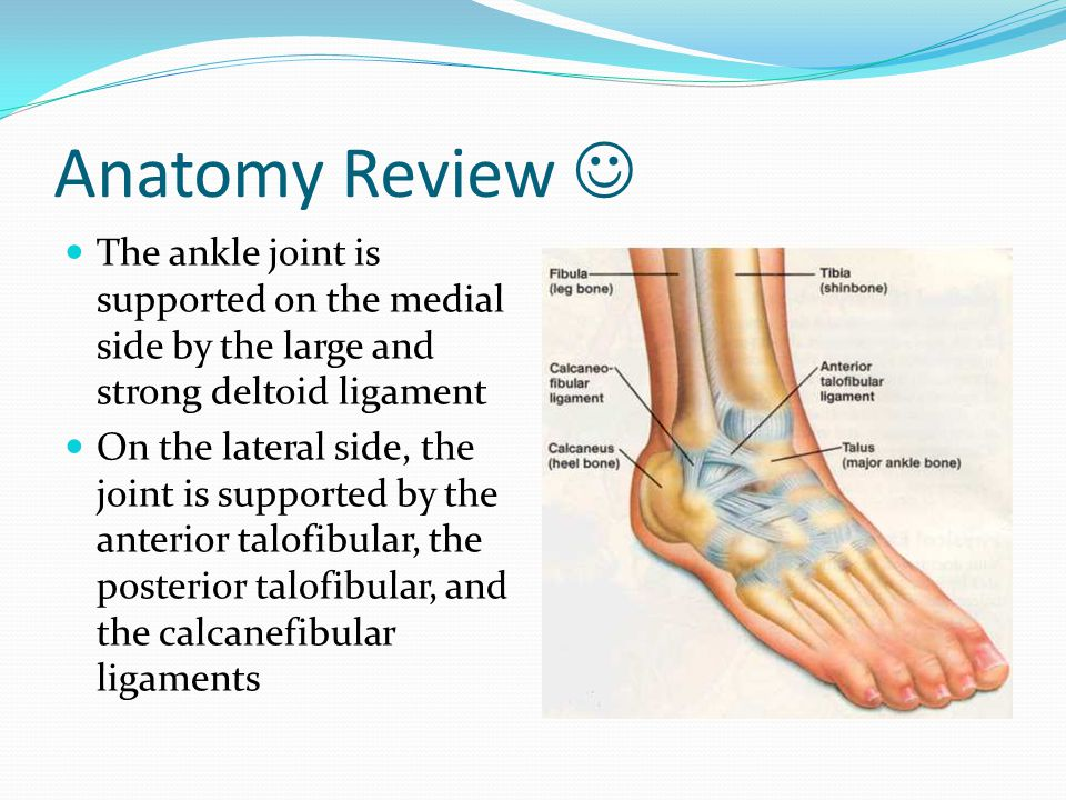 Anatomy Review  The ankle joint is supported on the medial side by the large and strong deltoid ligament.