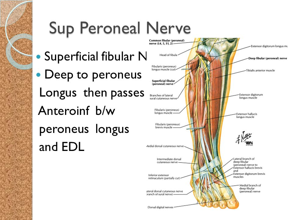 Sup Peroneal Nerve Superficial fibular N Deep to peroneus