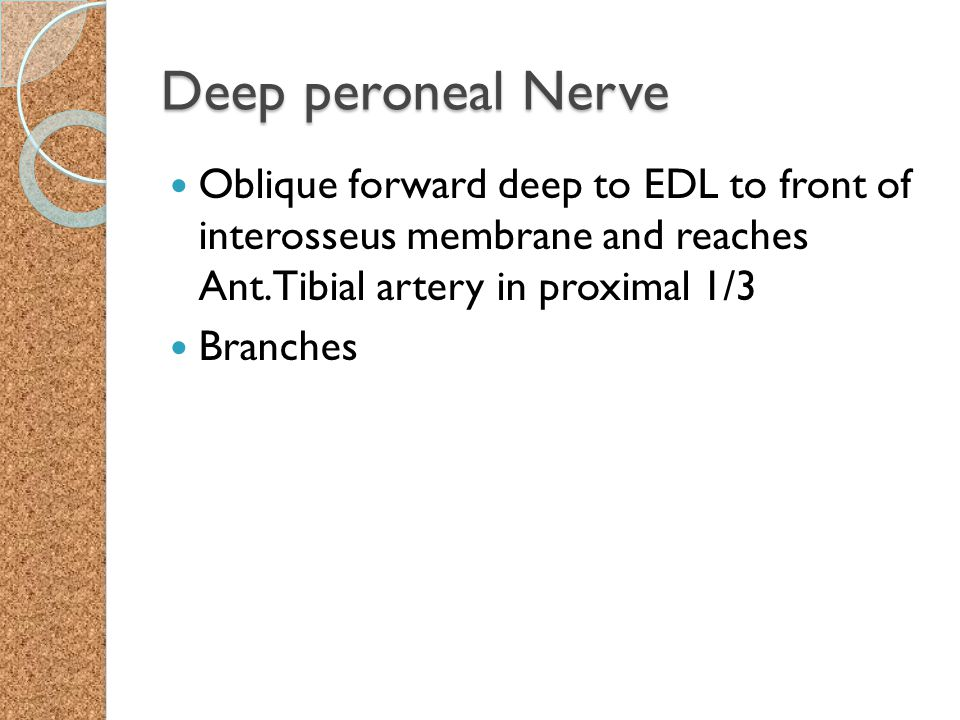 Deep peroneal Nerve Oblique forward deep to EDL to front of interosseus membrane and reaches Ant.Tibial artery in proximal 1/3.