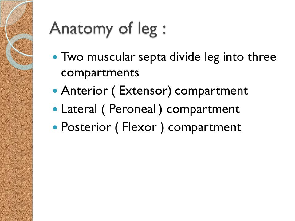 Anatomy of leg : Two muscular septa divide leg into three compartments