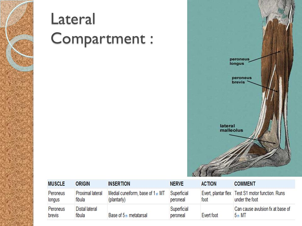 Lateral Compartment :