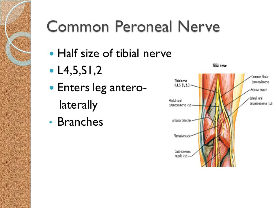 Common Peroneal Nerve Half size of tibial nerve L4,5,S1,2