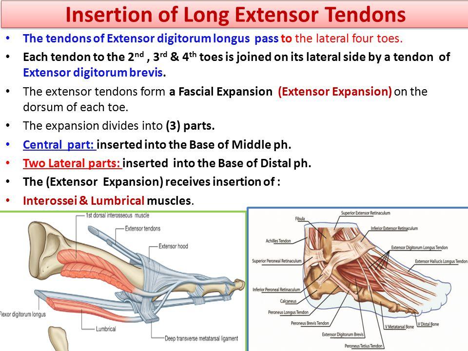 Insertion of Long Extensor Tendons