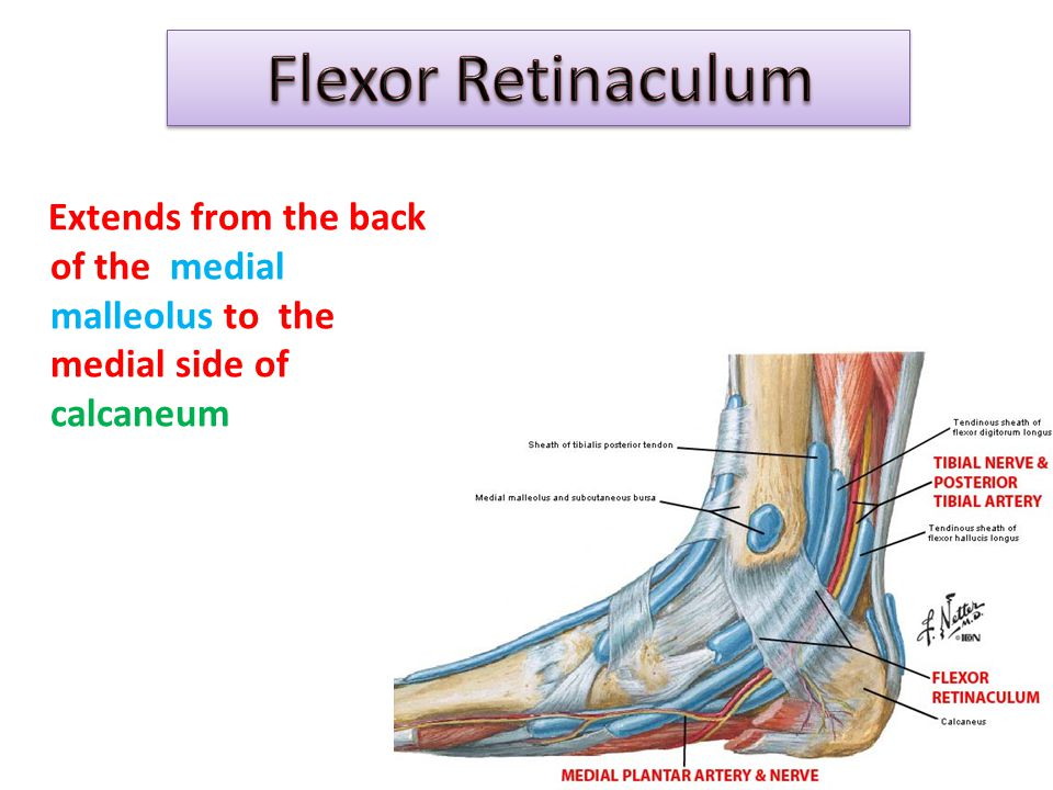 Flexor Retinaculum Extends from the back of the medial malleolus to the medial side of calcaneum