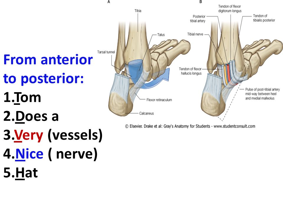 From anterior to posterior:
