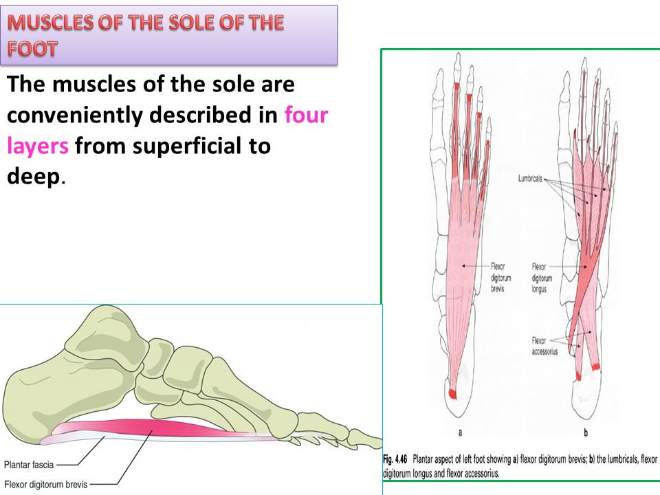 MUSCLES OF THE SOLE OF THE FOOT