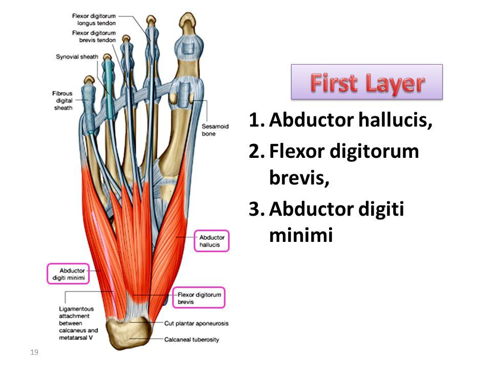 First Layer Abductor hallucis, Flexor digitorum brevis,