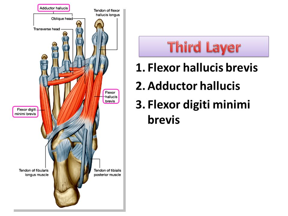 flexor digiti minimi brevis - photo #37
