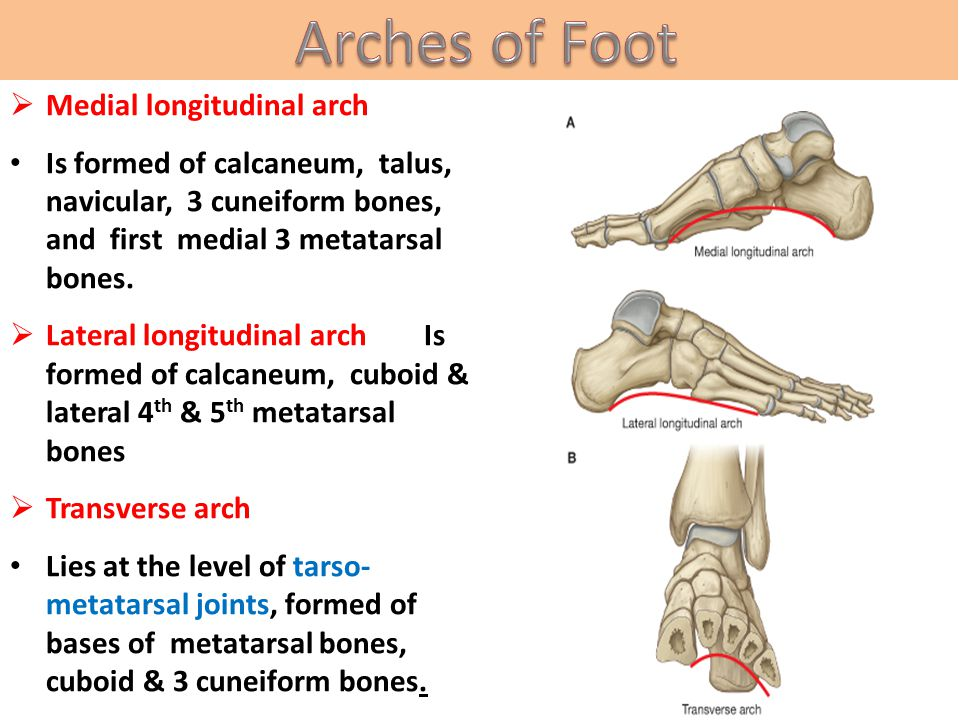Arches of Foot Medial longitudinal arch