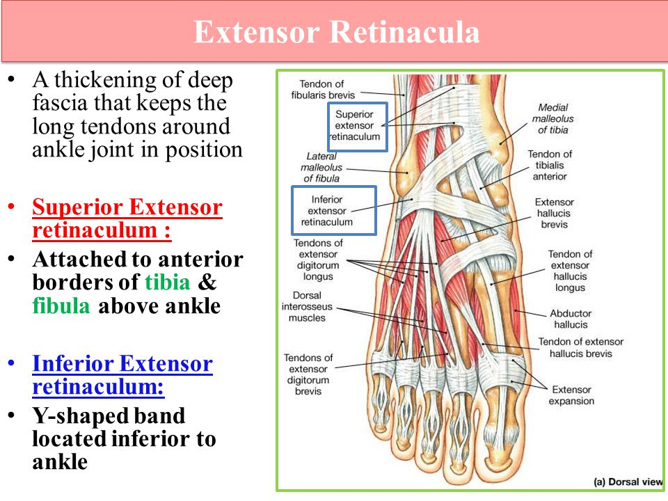 Extensor Retinacula A thickening of deep fascia that keeps the long tendons around ankle joint in position.