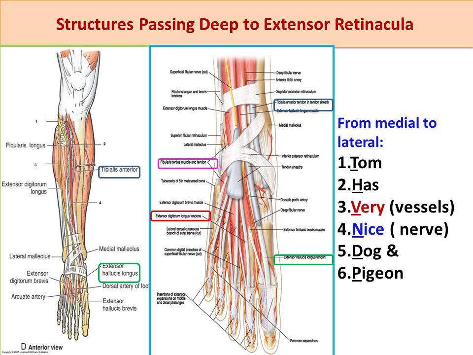 Structures Passing Deep to Extensor Retinacula