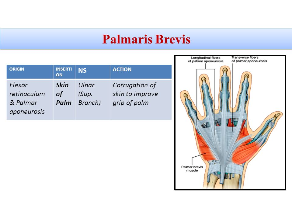 Palmaris Brevis NS Flexor retinaculum & Palmar aponeurosis