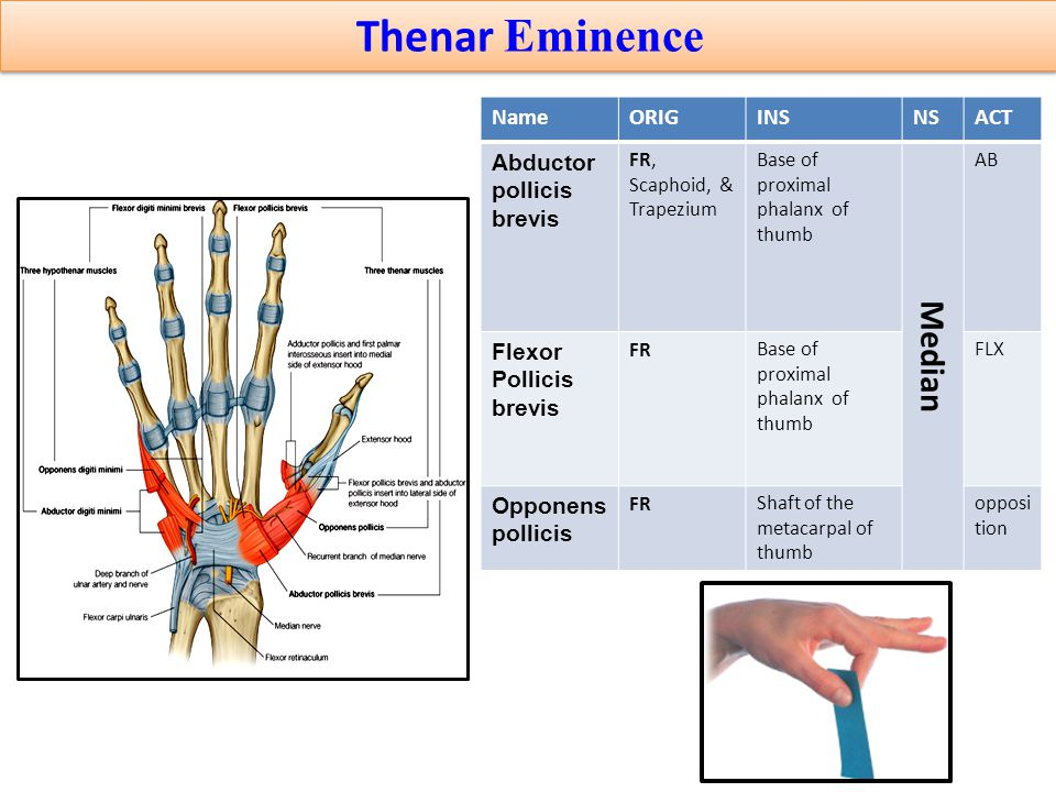 Thenar Eminence Anatomy