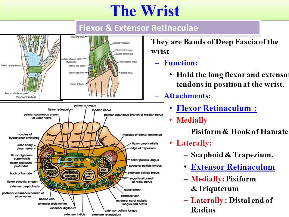 The Wrist Flexor & Extensor Retinaculae Flexor Retinaculum :