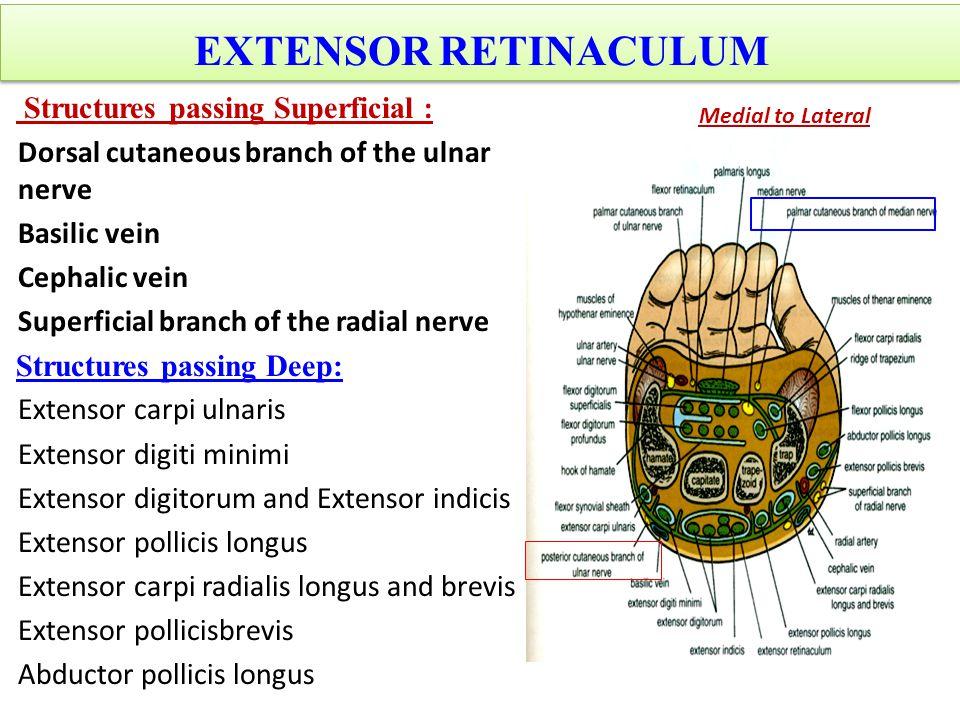 EXTENSOR RETINACULUM Structures passing Superficial :
