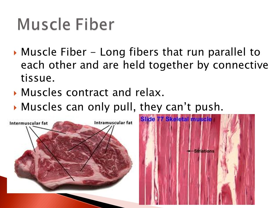 Muscle Fiber Muscle Fiber - Long fibers that run parallel to each other and are held together by connective tissue.