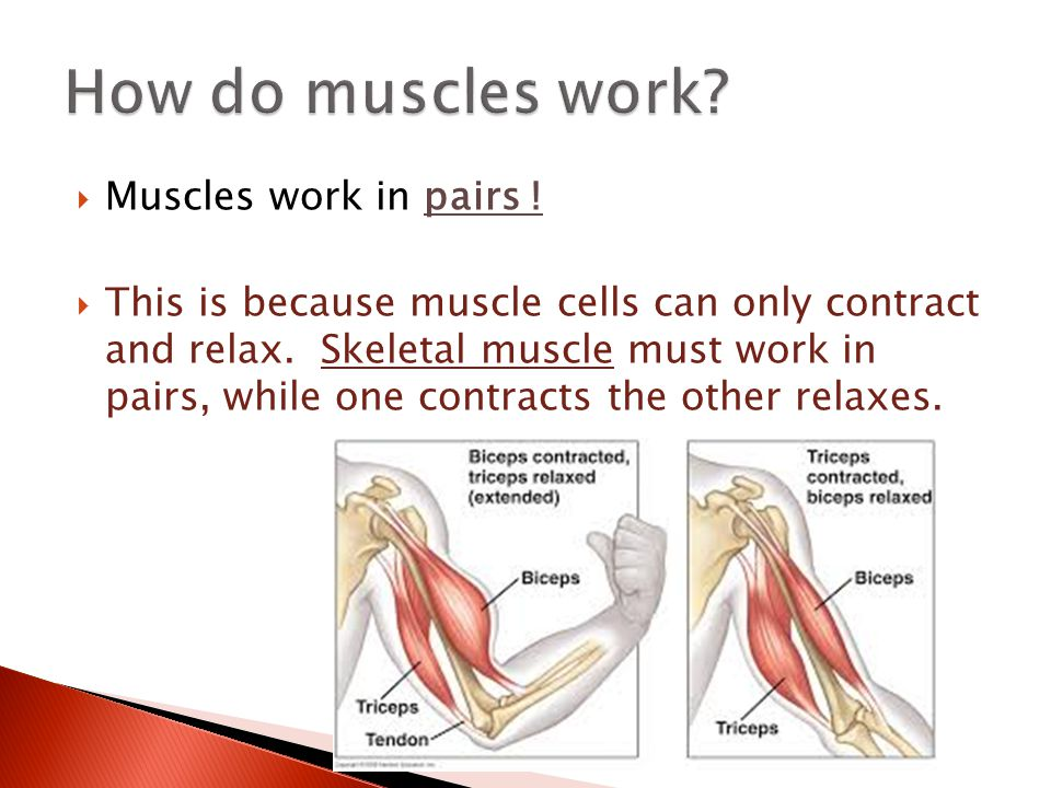 How do muscles work Muscles work in pairs !
