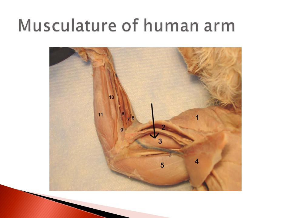 Musculature of human arm