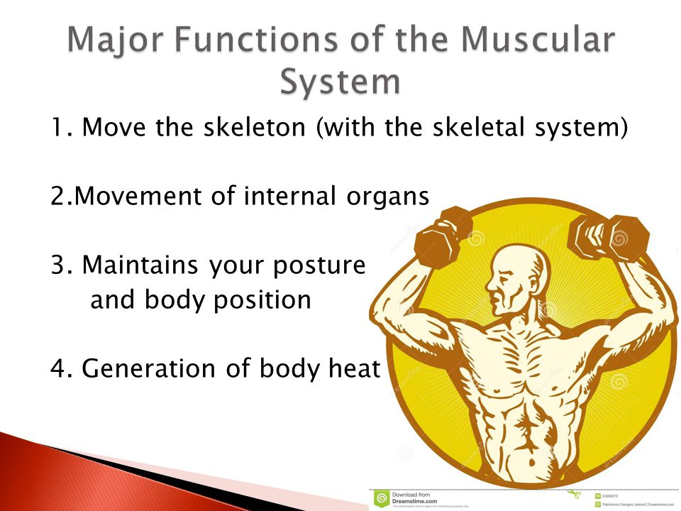 Major Functions of the Muscular System