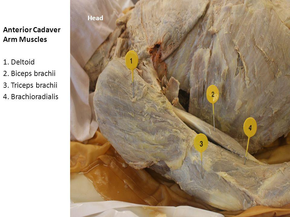 Anterior Cadaver Arm Muscles