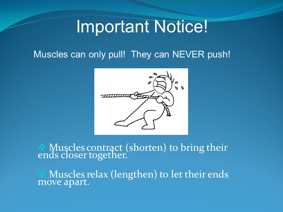 Important Notice! Muscles can only pull! They can NEVER push! Muscles contract (shorten) to bring their ends closer together.