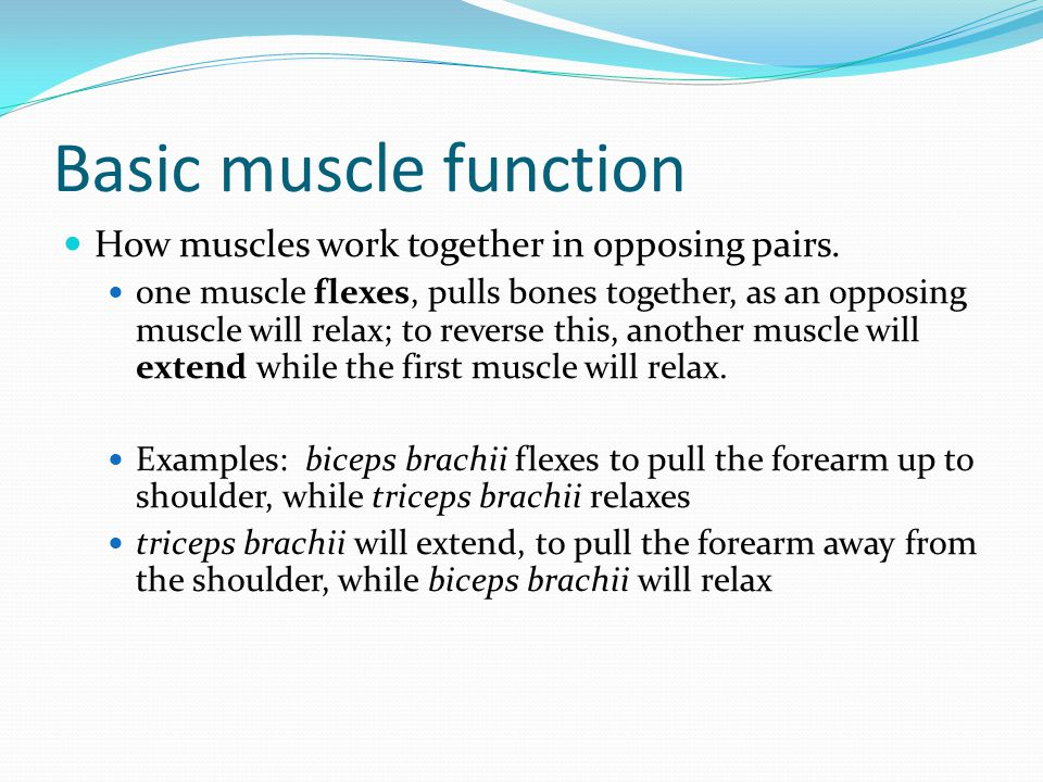 Basic muscle function How muscles work together in opposing pairs.