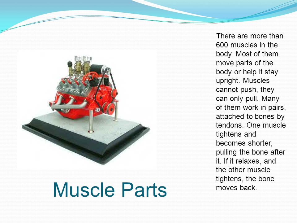 There are more than 600 muscles in the body