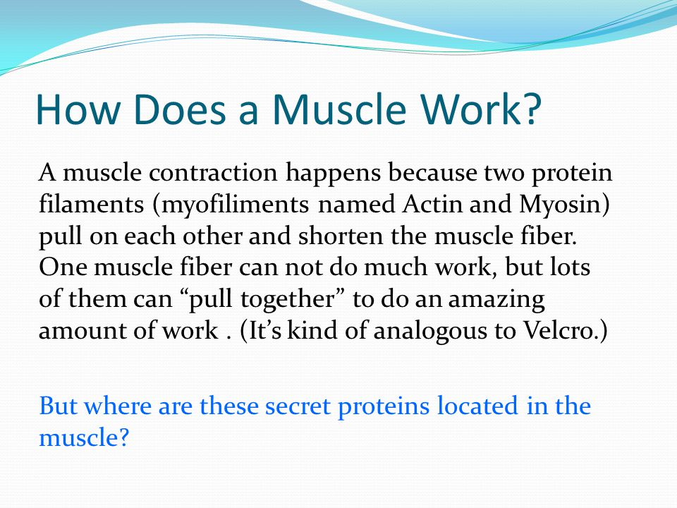 How Does a Muscle Work