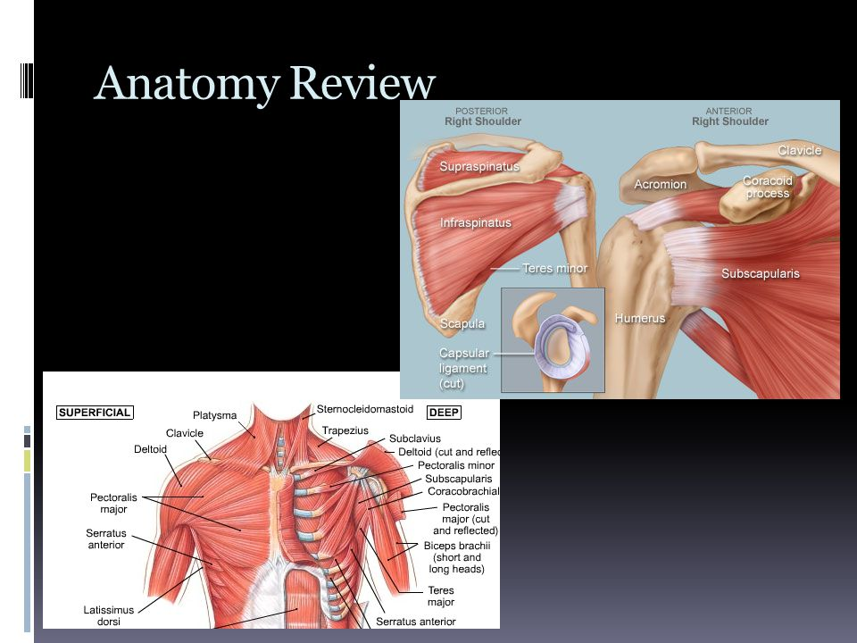 Anatomy Review