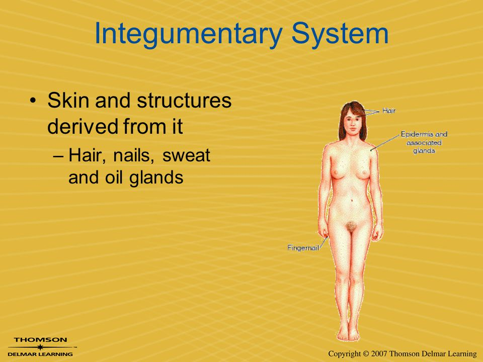 Integumentary System Skin and structures derived from it