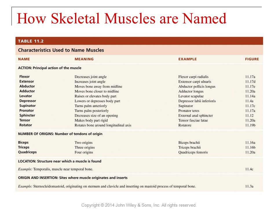 How Skeletal Muscles are Named