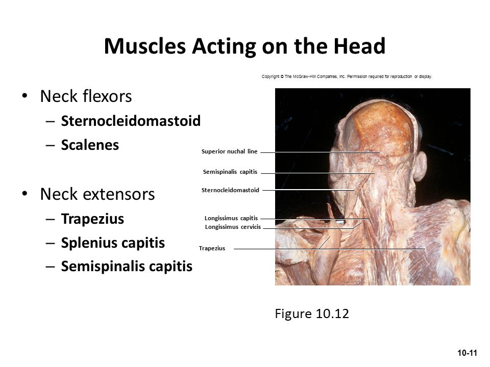 Muscles Acting on the Head