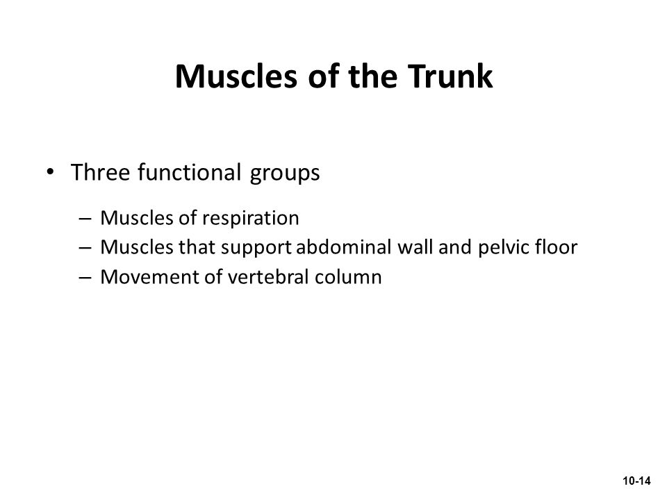 Muscles of the Trunk Three functional groups Muscles of respiration
